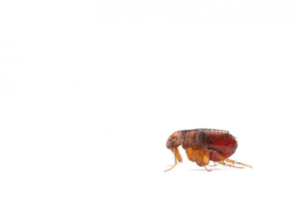 ¿Cómo son las pulgas?