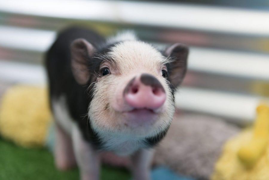 Cerdo vietnamita como mascota
