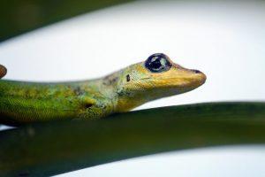 alimentacion-gecko