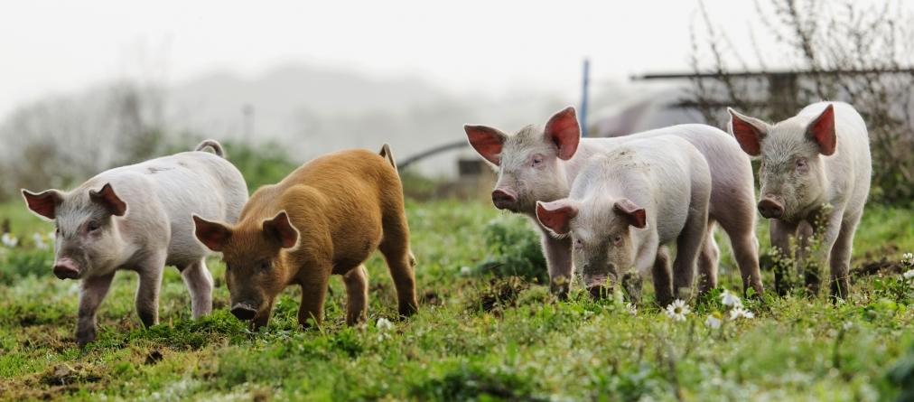 ¿Cuánto pesa un cerdo?