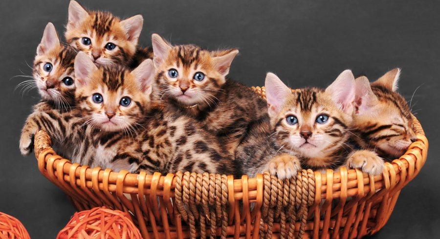 Alimentación del gato leopardo