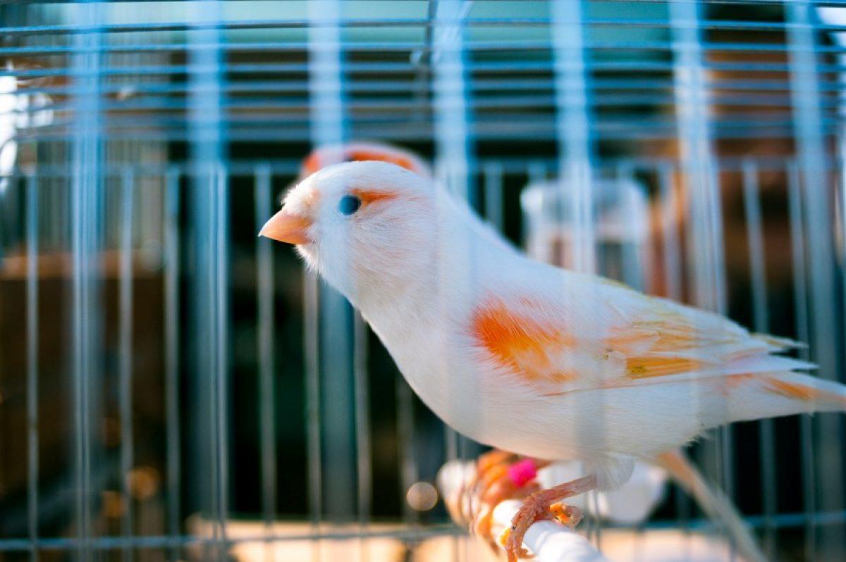 Cómo saber si tu canario es macho o hembra - Tiendanimal