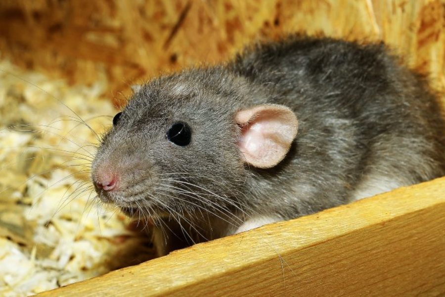Cómo alimentar a tu rata