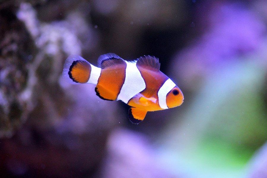 Descubre qué come el pez payaso