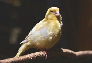 Cómo enseñar a cantar a un canario