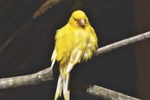 Cómo estimular el canto de un canario