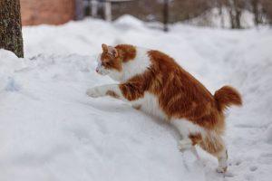 Gatos sin cola