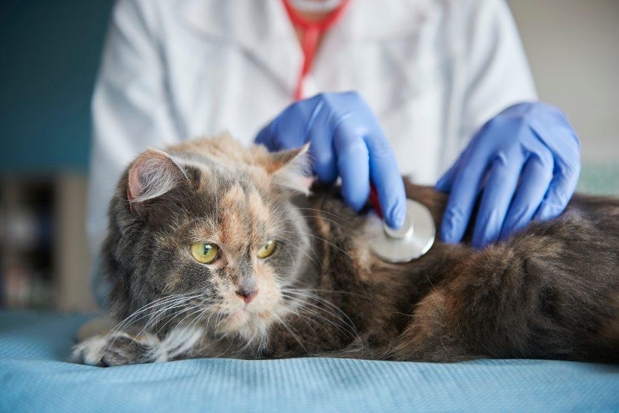 Tumores mamarios en gatas