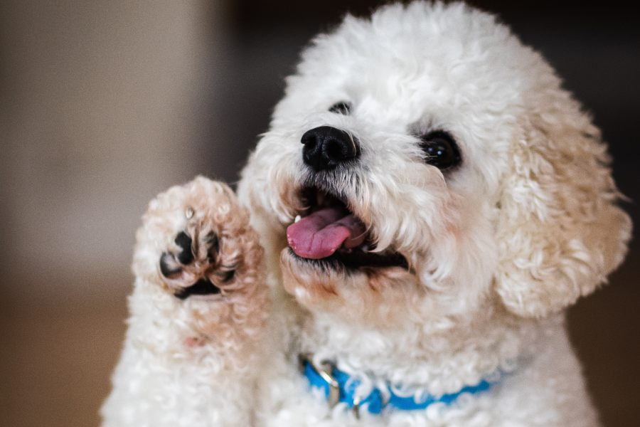 enseñar a un perro a dar la pata