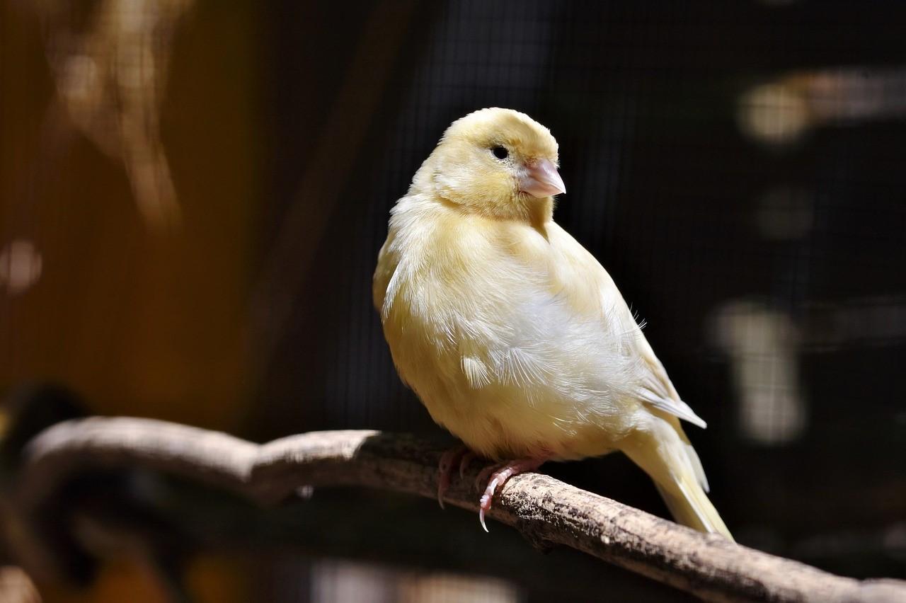 mi canario ya no canta