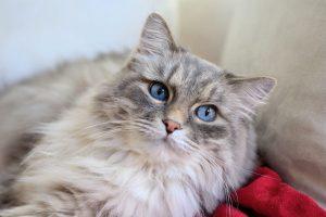 Muda-de-pelo-en-gatos-2