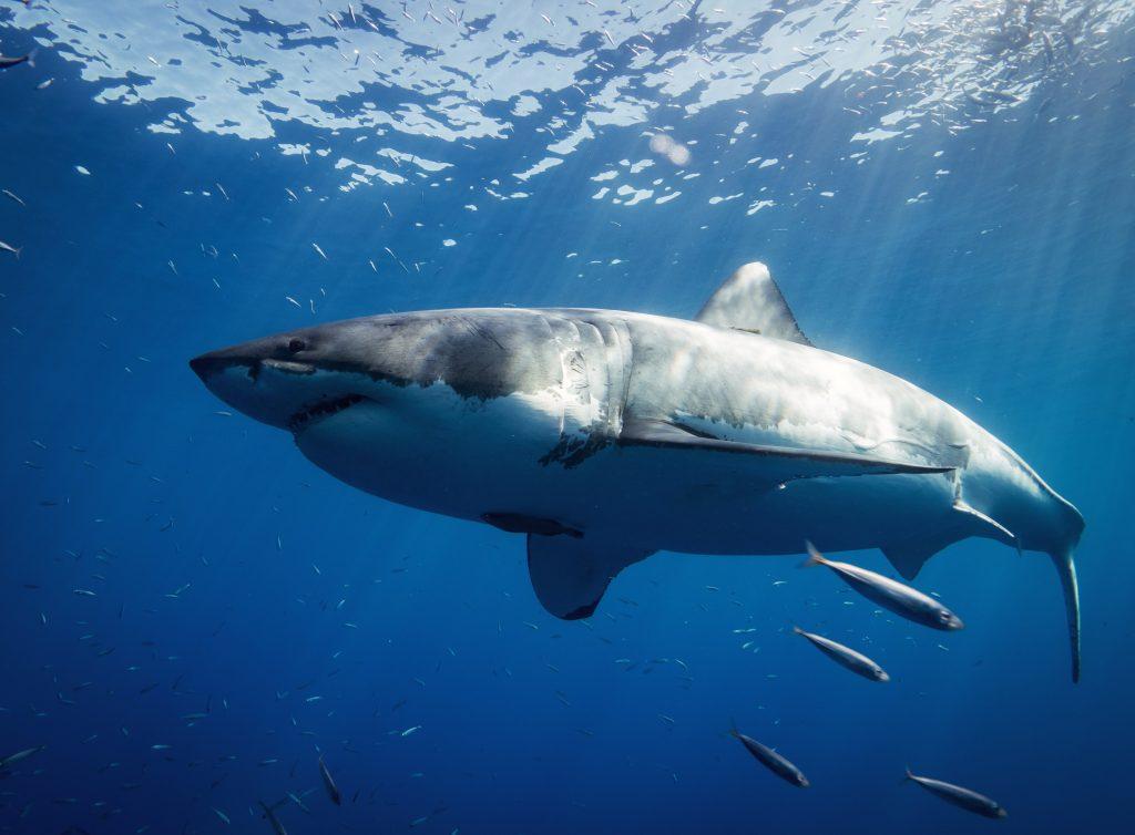 tiburon-blanco-animales-marinos-mas-grandes-del-mundo