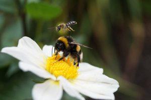 diferencia-entre-avispa-y-abeja
