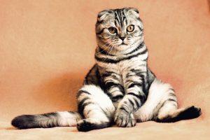FLUTD en gatos