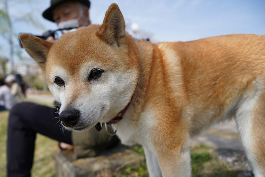 Shiba-Inu-cachorro