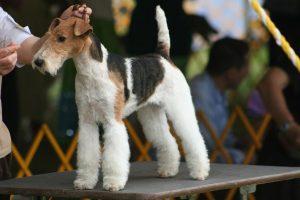 Fox-Terrier-la-energia-hecha-perro