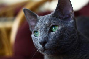 Razas-de-gato-Azul-ruso