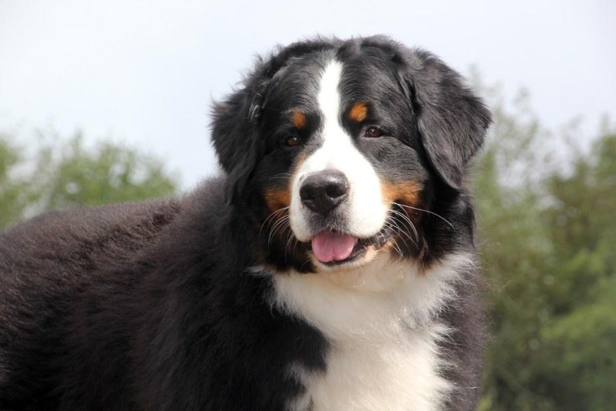 Razas-perro-Boyero-de-Berna