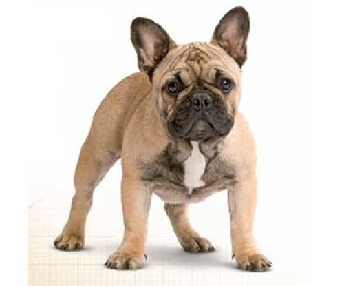 Royal Canin Bulldog French Adult