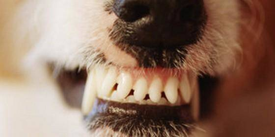 dog and cats teeth cleaned fast and easy dental hygiene dental dalus
