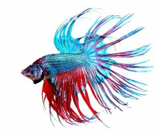 betta hoja hamaca