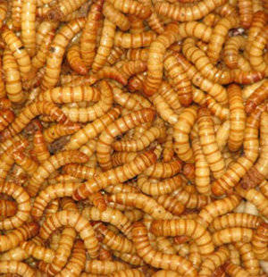 Mealworms dehydrated for reptiles and mami
