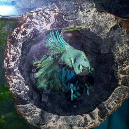 floating log tronco flotante betta zoomed