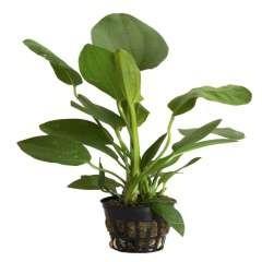 Planta para acuario Tropica Iberia Echinodorus Cordifolius