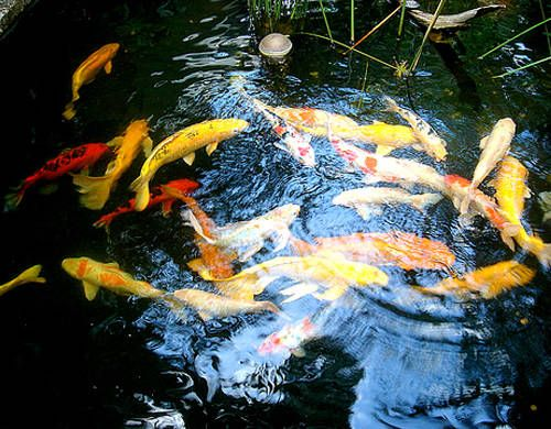 Los peces en el estanque for Carpas estanque