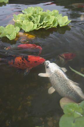 Los peces para su estanque de jard n tiendanimal for Comida para peces de estanque