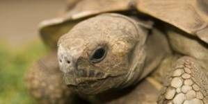 ¿Que necesito para empezar con una tortuga de tierra?