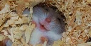 ¿Cual es el mejor lecho higiénico para roedores?