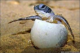 Cuidado de los huevos de las tortugas