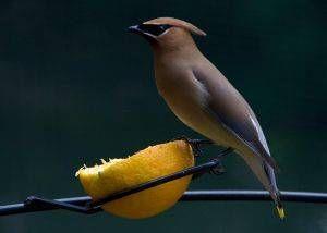 Alimentación para cría de canarios y otras aves pequeñas