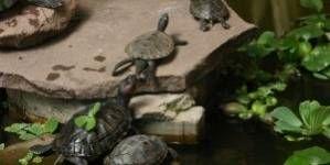 Tortugas acuáticas en el estanque