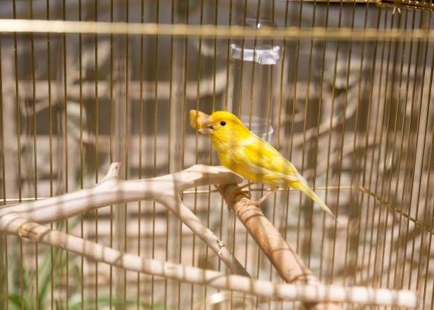 Cuidado de los pichones de canarios
