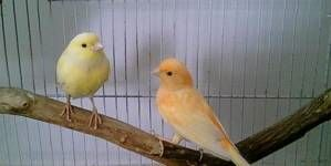 Algunas causas de infertilidad en canarios