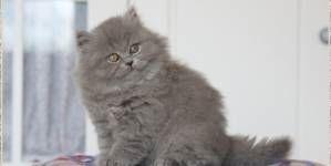 Cómo elegir el criador correcto de tu gato – Parte II