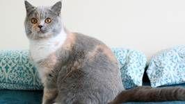 Cómo elegir al criador correcto de tu gato. Parte I
