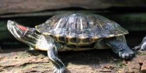 ¿Cuáles tortugas deben hibernar y cuáles no?