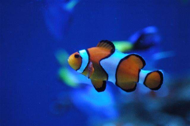 Cu ntos peces puedo mantener en mi acuario for Peces de colores para acuarios