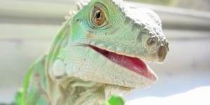 Cuidados y mantenimiento de la Iguana verde.