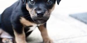 ¿Cuál es el mejor pienso para mi Rottweiler?