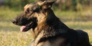 ¿Cómo se entrena a un perro policía?