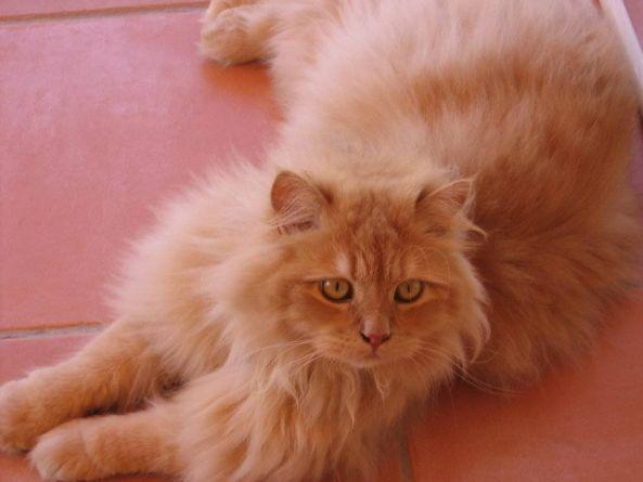 C mo quitar los nudos del pelaje de mi gato tiendanimal - Como quitar los pelos de gato de la ropa ...