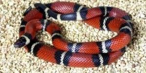 Mi serpiente no come, ¿Qué hago? PARTE II