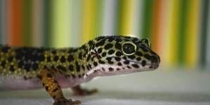 Cuidados y mantenimiento del Gecko Leopardo