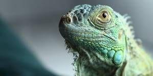 10 consejos para cuidar a tu iguana