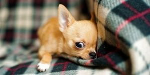 ¿Cuántas vacunas necesita un perro?