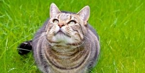 Gatos con sobrepeso: consecuencias de la obesidad en gatos